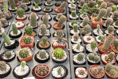 Many cactus species are available for sale in the flower shop.