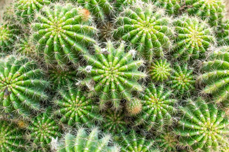 Close up top view cactus Many cactus species are available for sale in the flower shop. Archivio Fotografico