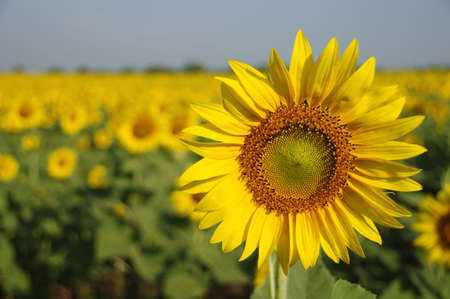 This is one of sunflowers in a farm, Saraburi province, Thailand.