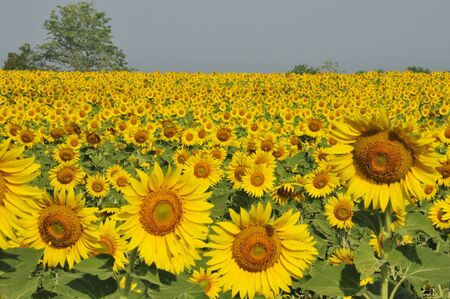 These are sunflower farm, Thailand. It was almost noon. photo