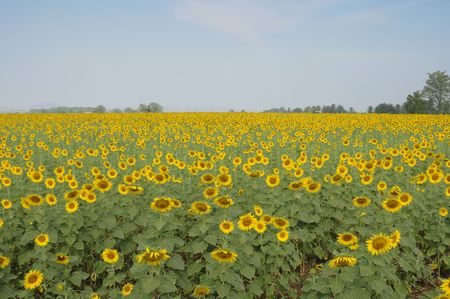 This sunflower farm is in Saraburi province, Thailand. It was almost at noon and it was a refreshing atmosphere. photo