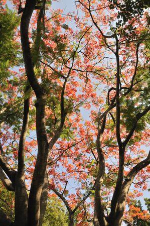 This tree is in Sanam Chandra Palace, Nakorn Pratom province, Thailand. photo