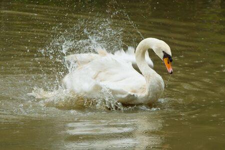 cygnus olor: Mute Swan or Cygnus olor is shaking its wings.