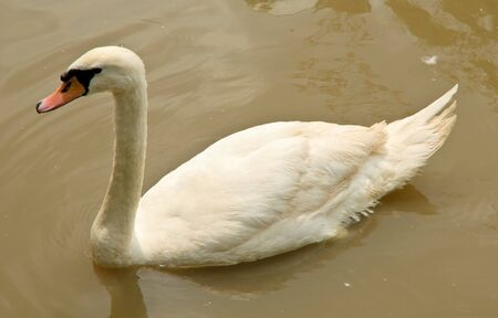 olor: Mute Swan or Cygnus olor is swimming in a pond. Stock Photo