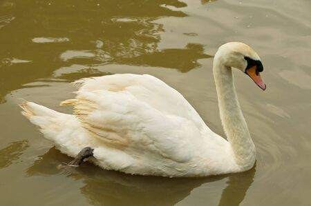 cygnus olor: Mute Swan or Cygnus olor is swimming in a pond. Stock Photo