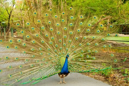 Indian peafowl or Pavo cristatus Stock Photo - 7257825