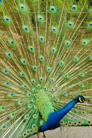 Indian peafowl or Pavo cristatus Stock Photo - 7257826