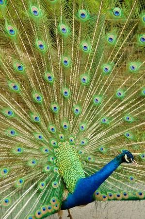 indian peafowl: Indian peafowl or Pavo cristatus Stock Photo