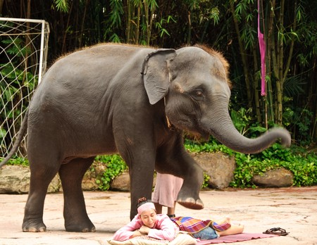 Elephant or Elephas maximus show at Safari world, Thailand.
