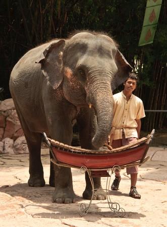 Elephant or Elephas maximus show at Safari world, Thailand. Stock Photo - 7251702