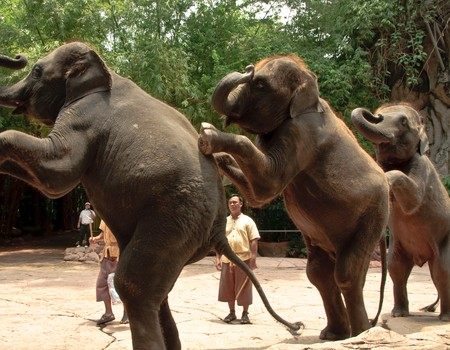 Elephants or Elephas maximus show at Safari world, Thailand.