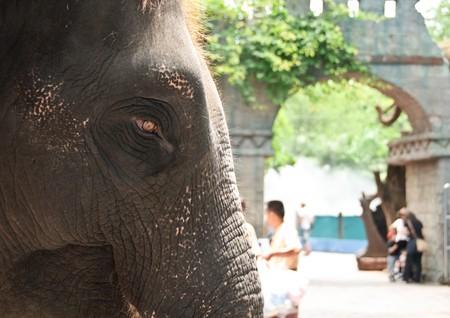 Elephant or Elephas maximus  at Safari world, Thailand. Stock Photo - 7251704