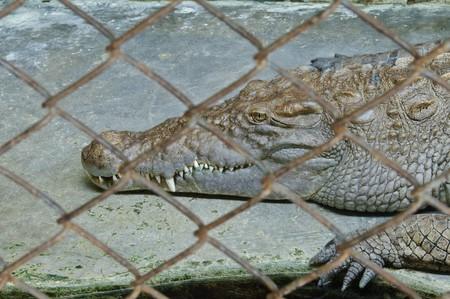 Crocodylidae or crocodile, Thailand photo