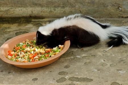 zorrillo: skunk rayado o Mephitis mephitis, Tailandia