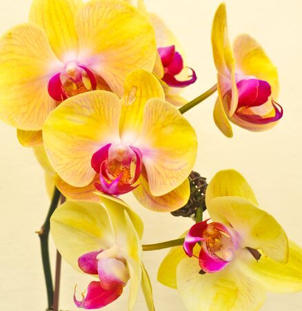 purple, white, yellow falan orchid, Air Orchid & Lab(Orchid supermaket), Thailand Stock Photo - 7474572