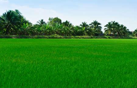 Rice field, Thailand photo