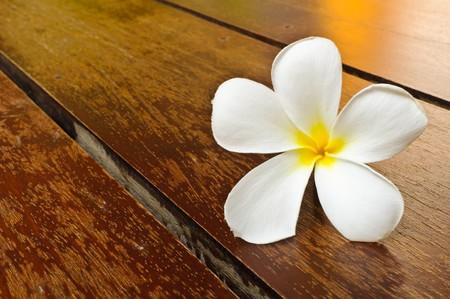 plumeria on a white background: A white plumeria on rustic wood floor