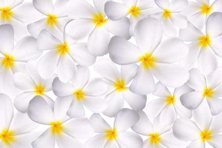 White plumeria as a background or pattern photo