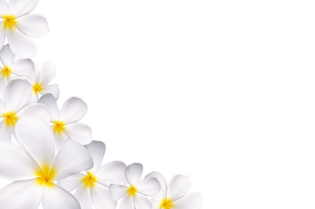 White plumeria as a background with copy space photo
