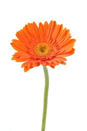 オレンジ デイジー ガーベラ白で隔離されます。