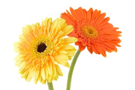 Orange and yellow  daisy-gerbera isolated on white. photo