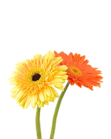Orange and yellow  daisy-gerbera isolated on white with copy space. photo