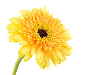 Yellow daisy-gerbera isolated on white with copy space.