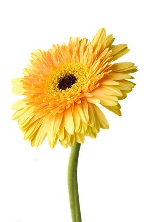 white daisy: Yellow daisy-gerbera isolated on white.
