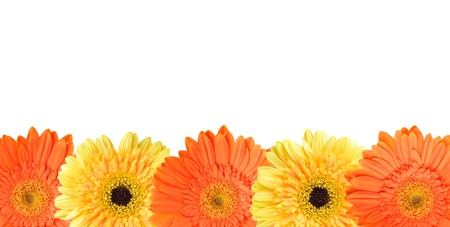 Yellow and orange daisy-gerbera isolated on white with copy space on top.