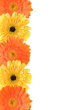 Yellow and orange daisy-gerbera flower isolated on white with a copy space on the right Stock Photo
