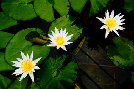 white lilly water in the lake  Stock Photo