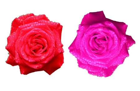 red and pink rose isolated on white background Stock Photo - 10057149