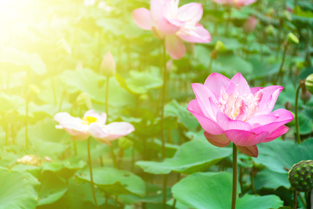 crystalline lens: The pink lotus flower field with lighting flare colorful. Stock Photo