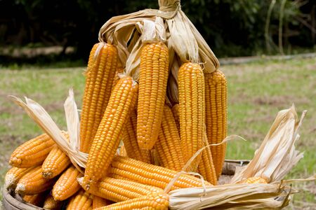 matured: Yellow  mature corn cob on a basket