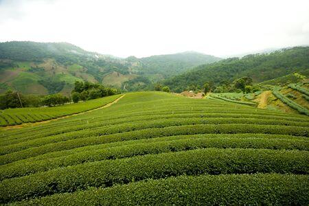 Landscape of Tea Field, Chiang Rai Thailand. Stock Photo