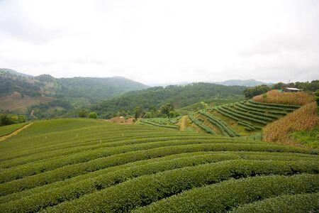 Green Tea Field at Chiang Rai Thailand.