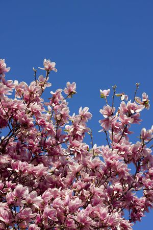 Spring pink flower with blue sky background  photo
