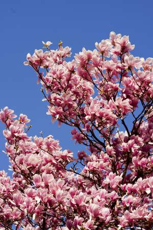 Spring pink flower in Grenoble, France  photo