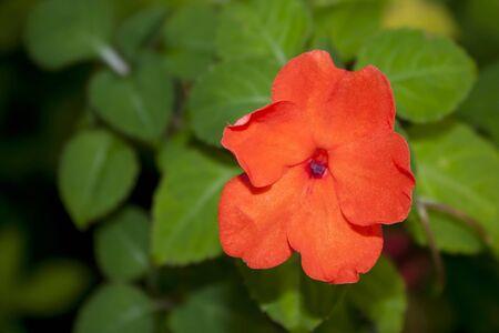 Single orange flower on green leaf background     Stock Photo - 13287356