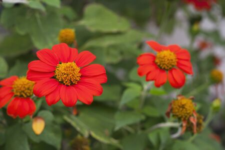 Red single layer petal Dahlia flower  Stock Photo - 13287346