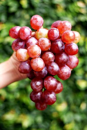 holed: Bunch of grapes holed by hand closeup  Stock Photo
