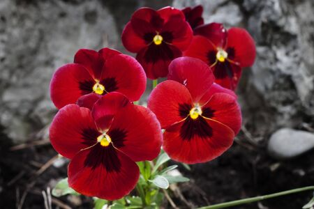 Red pansy flowers blossom in the park of Grenoble, France  Imagens