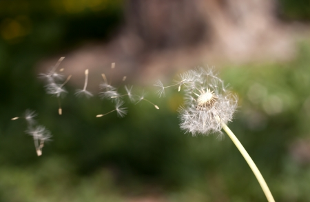 Dandelion blowing seeds in the wind