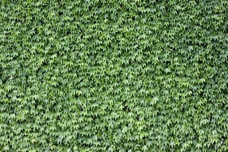 ivies: Il muro di mattoni coperto da foglie verdi