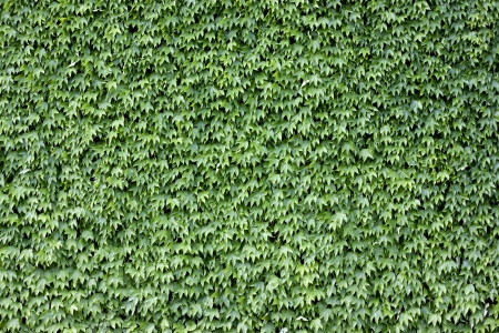 The wall brick covered by green leaves