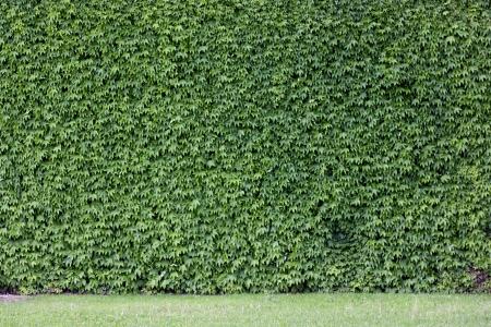 La pared de ladrillo cubierta por las hojas verdes Foto de archivo - 16661617
