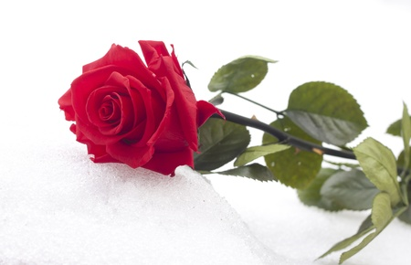 Closeup of red rose on snow, France  photo