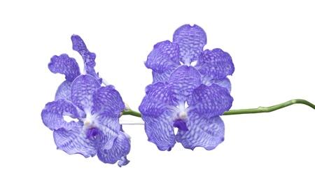 vanda: Blue orchid (vanda sansai blue) isolated on white background. Stock Photo