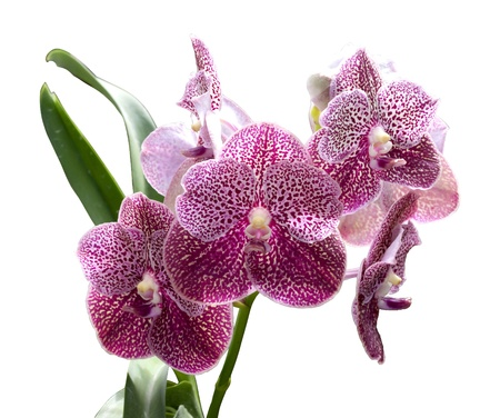 vanda: Beautiful purple orchid isolated on withe background.