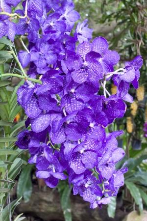 perishable: Beautiful purple orchid in the farm of Thailand.